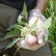 Fatness of the cock with nettles